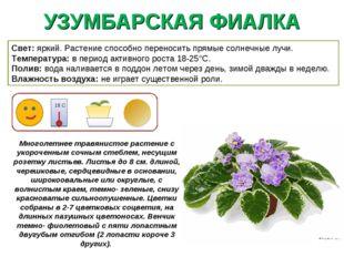 УЗУМБАРСКАЯ ФИАЛКА Многолетнее травянистое растение с укороченным сочным стеб