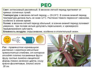 РЕО Рэо - травянистое корневищное растение с коротким мясистым прямостоячим с