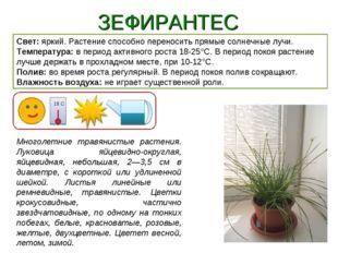 ЗЕФИРАНТЕС Свет: яркий. Растение способно переносить прямые солнечные лучи. Т