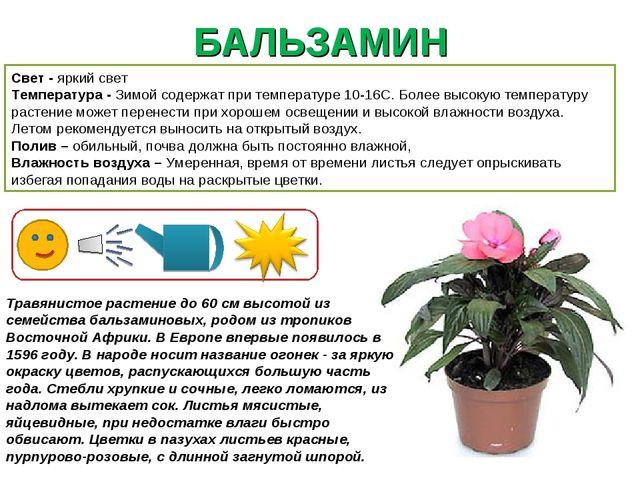 БАЛЬЗАМИН Свет - яркий свет Температура - Зимой содержат при температуре 10-1...