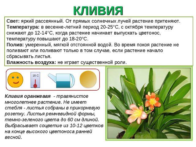 КЛИВИЯ Кливия оранжевая - травянистое многолетнее растение. Не имеет стебля -...