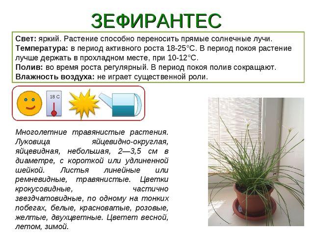 ЗЕФИРАНТЕС Свет: яркий. Растение способно переносить прямые солнечные лучи. Т...