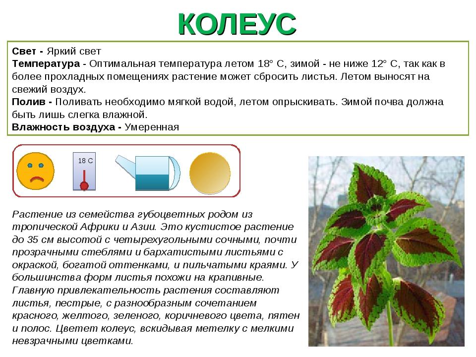 КОЛЕУС Растение из семейства губоцветных родом из тропической Африки и Азии....