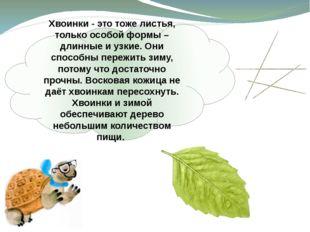 Хвоинки - это тоже листья, только особой формы – длинные и узкие. Они способн