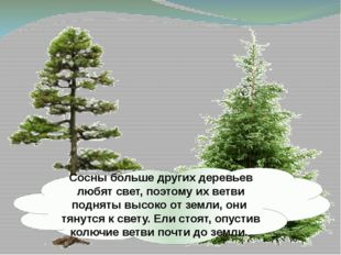 Сосны больше других деревьев любят свет, поэтому их ветви подняты высоко от з