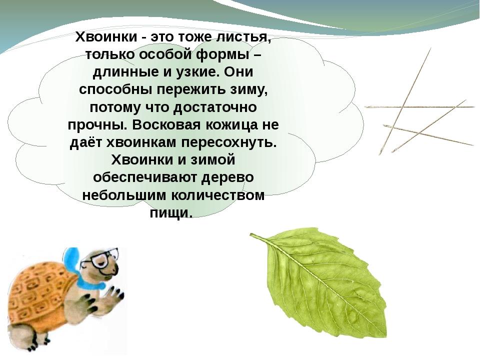 Хвоинки - это тоже листья, только особой формы – длинные и узкие. Они способн...