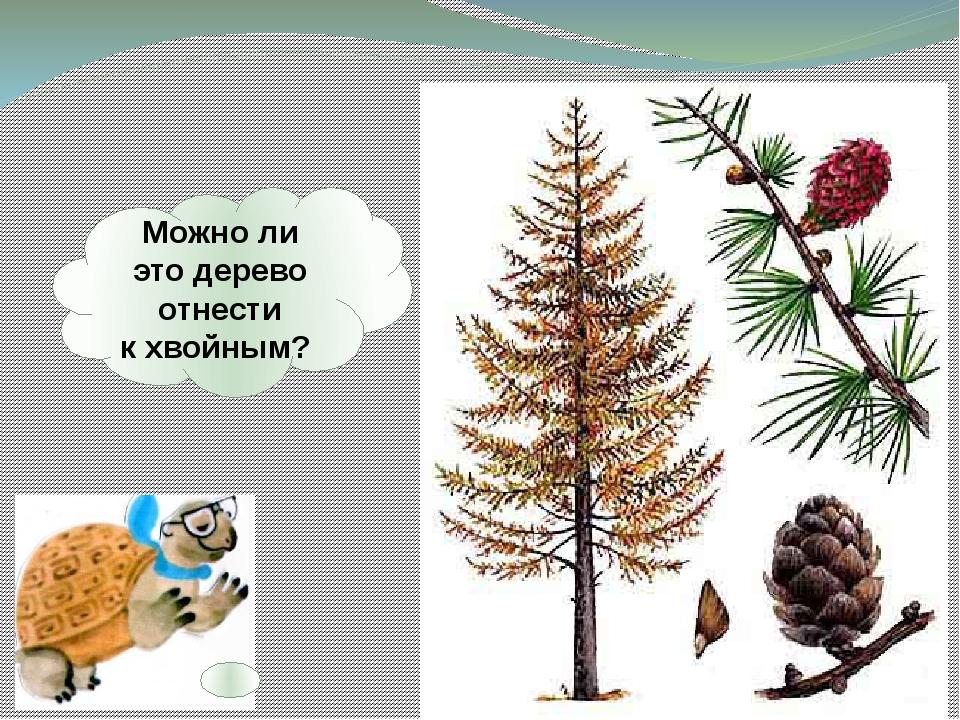Можноли это дерево отнести кхвойным?