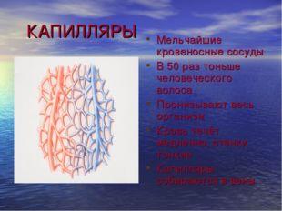 КАПИЛЛЯРЫ Мельчайшие кровеносные сосуды В 50 раз тоньше человеческого волоса