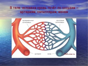 В теле человека кровь течёт по сосудам – артериям, капиллярам, венам
