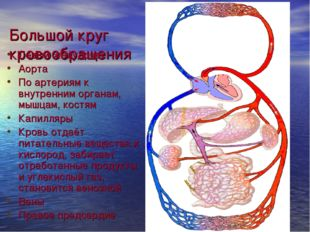 Большой круг кровообращения Левый желудочек Аорта По артериям к внутренним ор