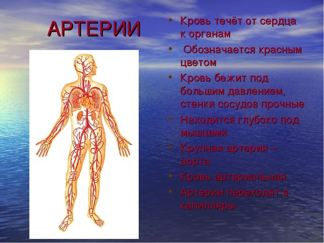 АРТЕРИИ Кровь течёт от сердца к органам Обозначается красным цветом Кровь бе...