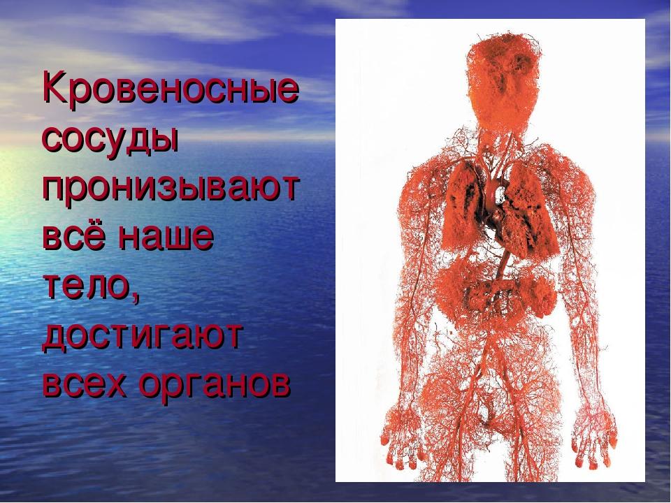 Кровеносные сосуды пронизывают всё наше тело, достигают всех органов