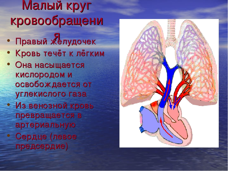 Малый круг кровообращения Правый желудочек Кровь течёт к лёгким Она насыщаетс...