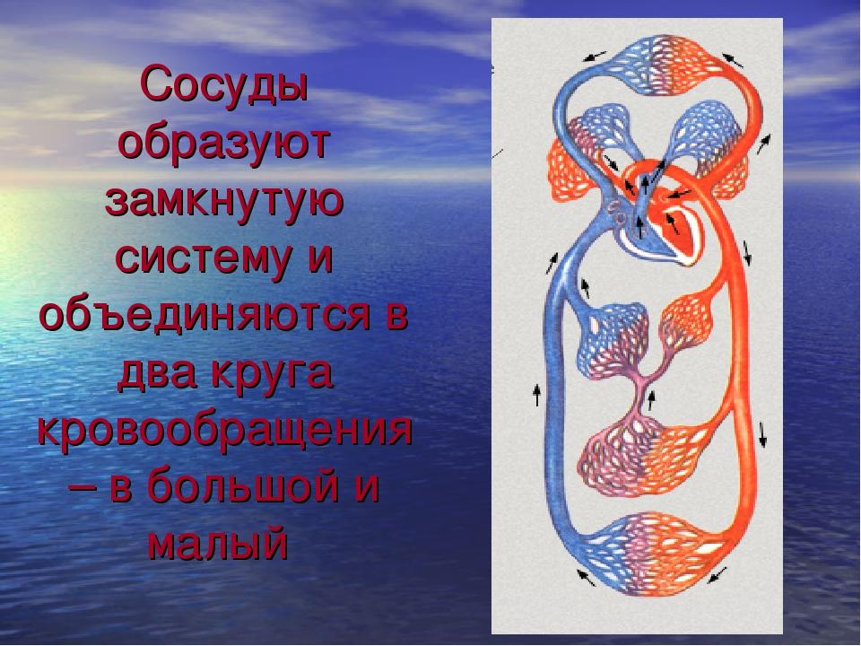 Сосуды образуют замкнутую систему и объединяются в два круга кровообращения –...