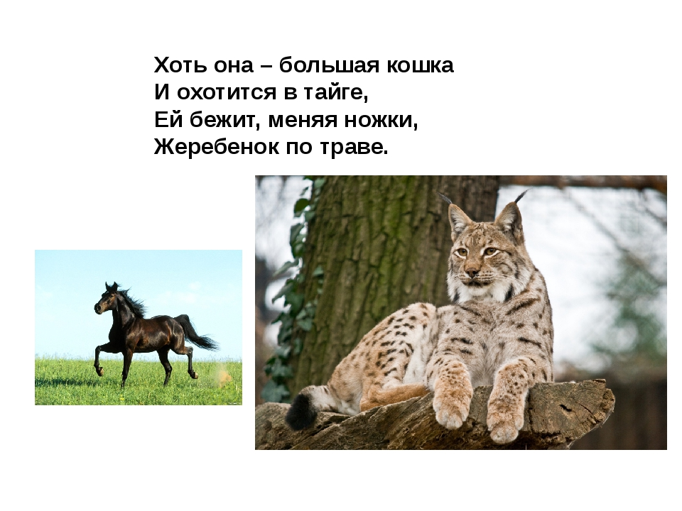Хоть она – большая кошка И охотится в тайге, Ей бежит, меняя ножки, Жеребенок...