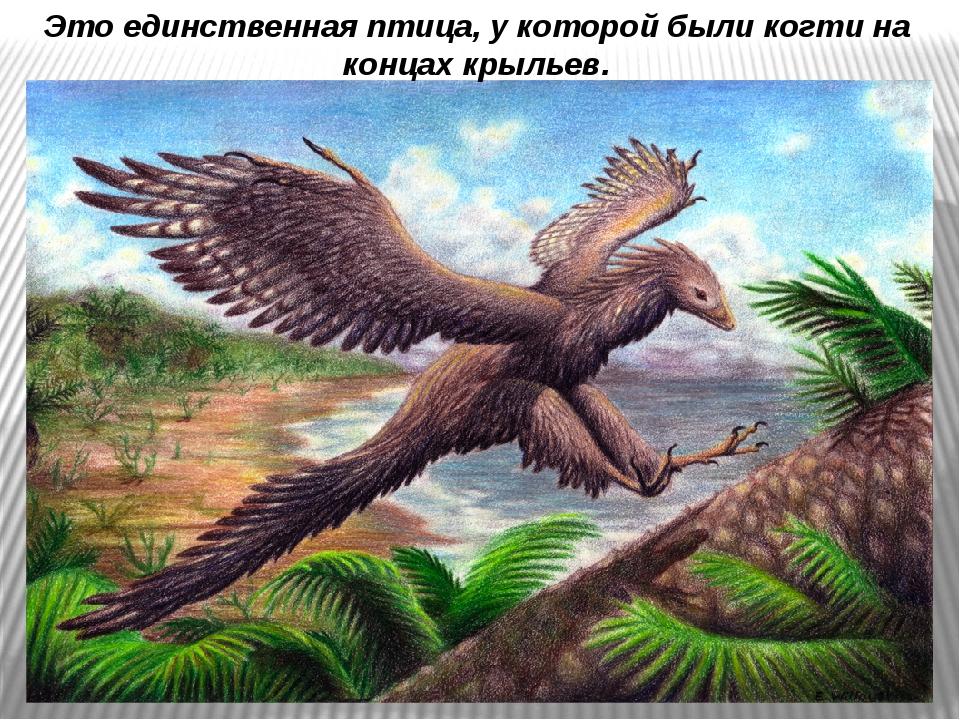Это единственная птица, у которой были когти на концах крыльев.