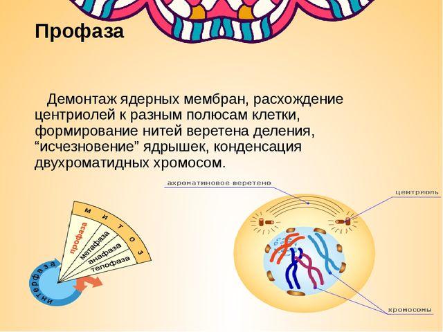 Профаза Демонтаж ядерных мембран, расхождение центриолей к разным полюсам кле...