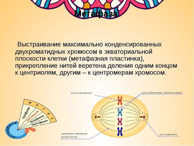 Метафаза Выстраивание максимально конденсированных двухроматидных хромосом в...