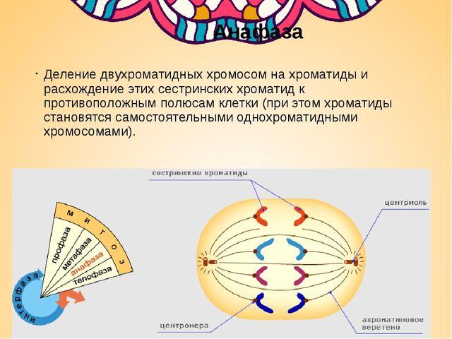 Анафаза Деление двухроматидных хромосом на хроматиды и расхождение этих сест...