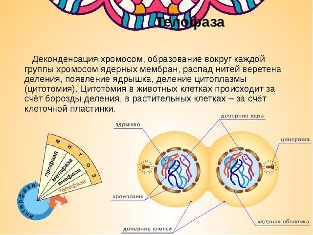 Телофаза Деконденсация хромосом, образование вокруг каждой группы хромосом я...