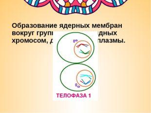 Образование ядерных мембран вокруг групп двухроматидных хромосом, деление ци
