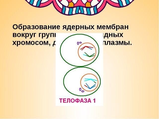 Образование ядерных мембран вокруг групп двухроматидных хромосом, деление ци...