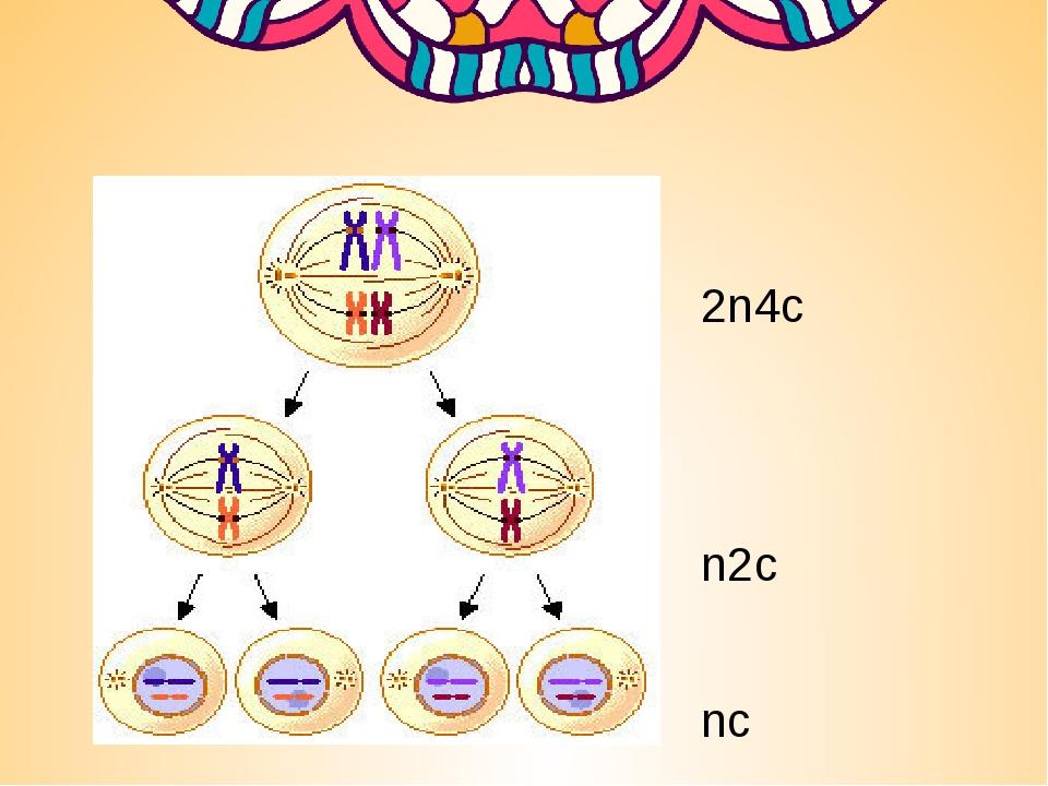2n4c n2c nc