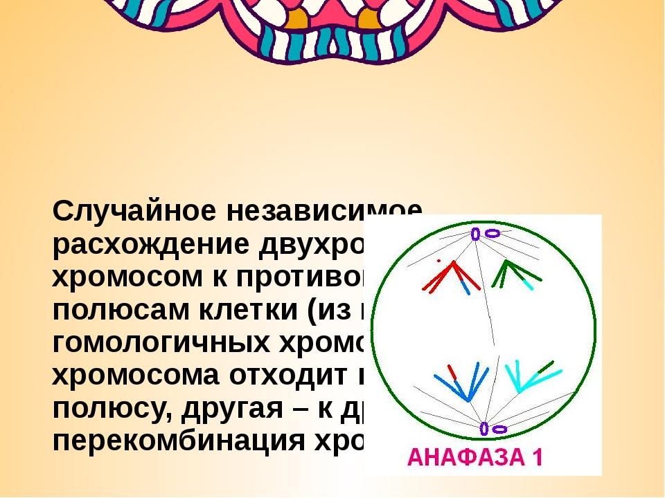 Случайное независимое расхождение двухроматидных хромосом к противоположным...