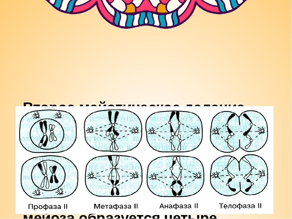 Второе мейотическое деление идет по типу митоза. В анафазе 2 к полюсам расхо...