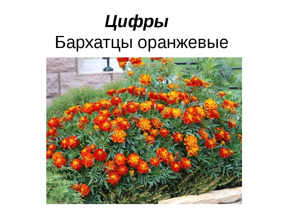 Цифры Бархатцы оранжевые