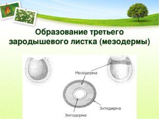 Образование третьего зародышевого листка (мезодермы)