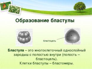 Образование бластулы бластоцель Бластула – это многоклеточный однослойный зар