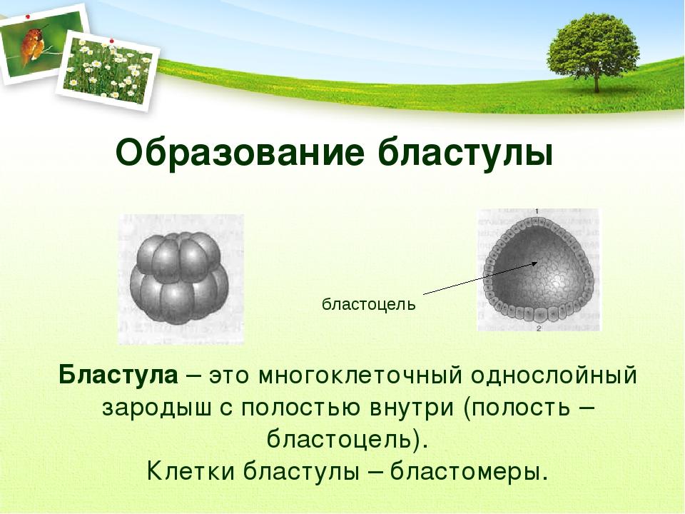 Образование бластулы бластоцель Бластула – это многоклеточный однослойный зар...