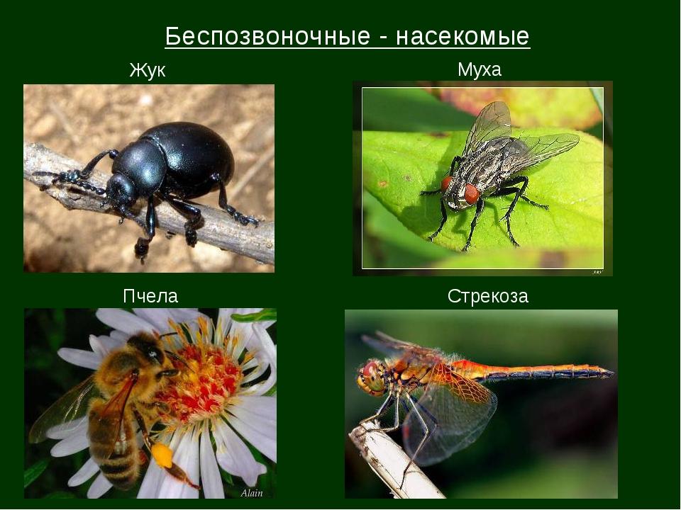 Беспозвоночные - насекомые Жук Муха Пчела Стрекоза