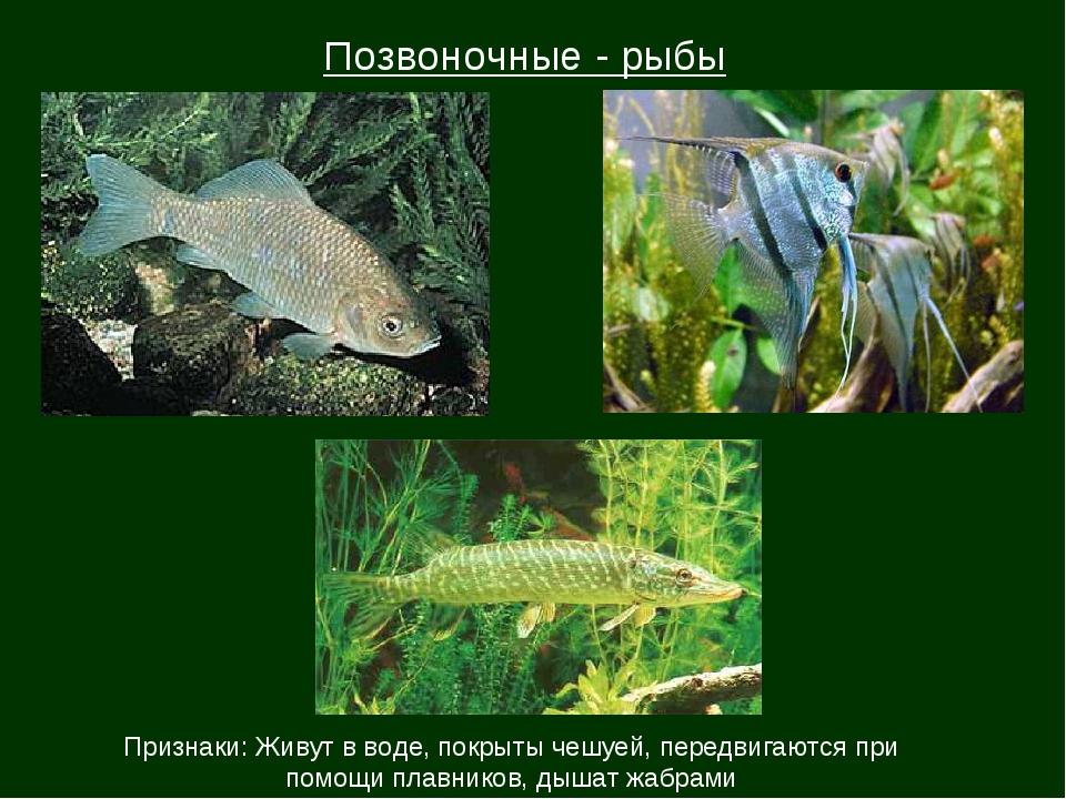 Позвоночные - рыбы Признаки: Живут в воде, покрыты чешуей, передвигаются при...