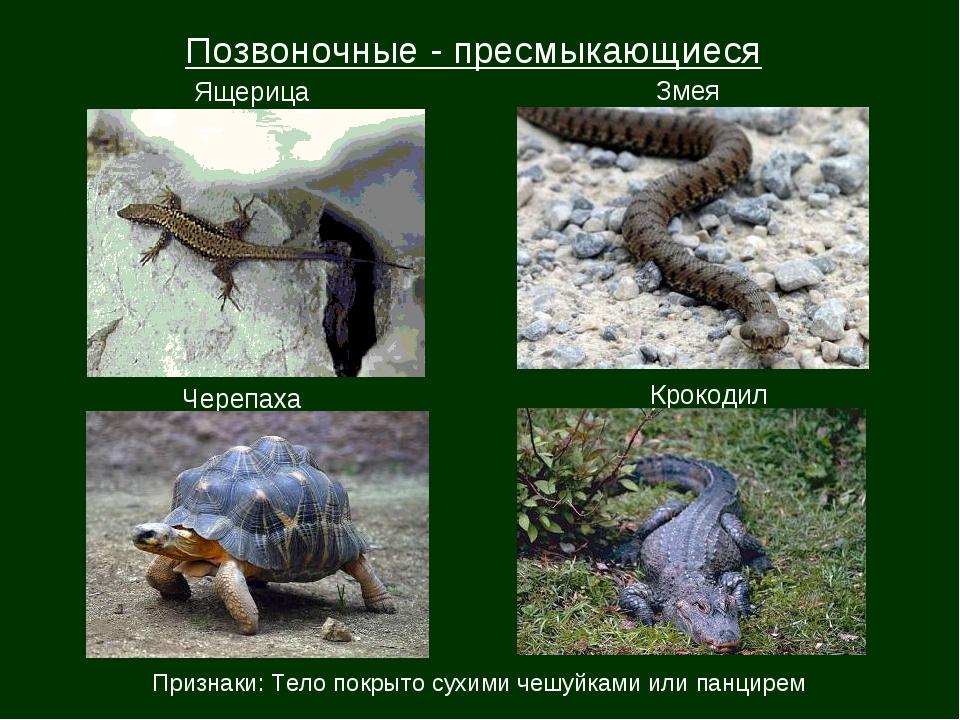Позвоночные - пресмыкающиеся Ящерица Змея Черепаха Крокодил Признаки: Тело по...
