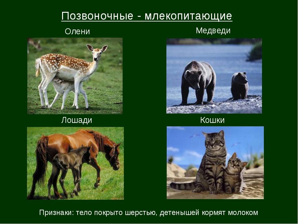 Олени Медведи Лошади Кошки Позвоночные - млекопитающие Признаки: тело покрыто...