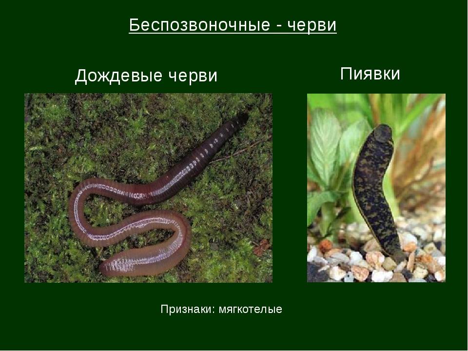 Беспозвоночные - черви Дождевые черви Пиявки Признаки: мягкотелые