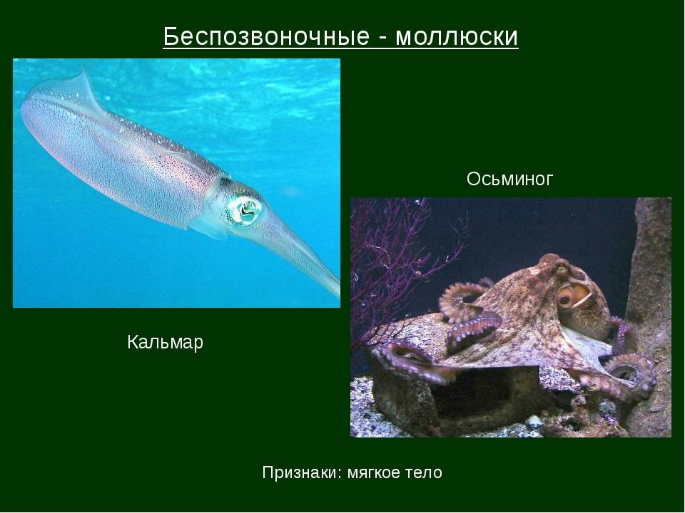 Беспозвоночные - моллюски Кальмар Осьминог Признаки: мягкое тело