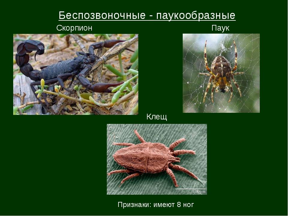 Беспозвоночные - паукообразные Скорпион Паук Клещ Признаки: имеют 8 ног