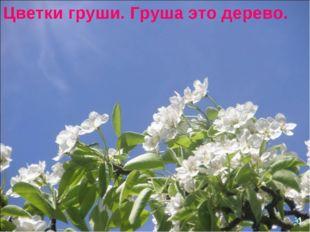Цветки груши. Груша это дерево.