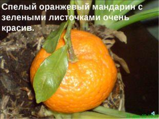 Спелый оранжевый мандарин с зелеными листочками очень красив.