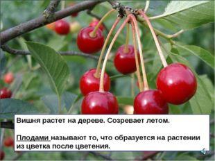 Вишня растет на дереве. Созревает летом. Плодами называют то, что образуется