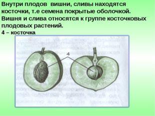 Внутри плодов вишни, сливы находятся косточки, т.е семена покрытые оболочкой.