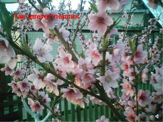 Так цветет персик