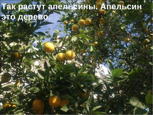 Так растут апельсины. Апельсин это дерево.