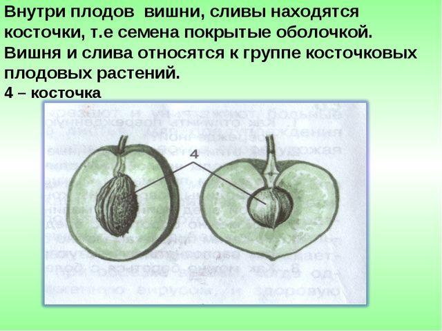 Внутри плодов вишни, сливы находятся косточки, т.е семена покрытые оболочкой....