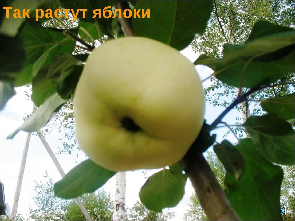 Так растут яблоки
