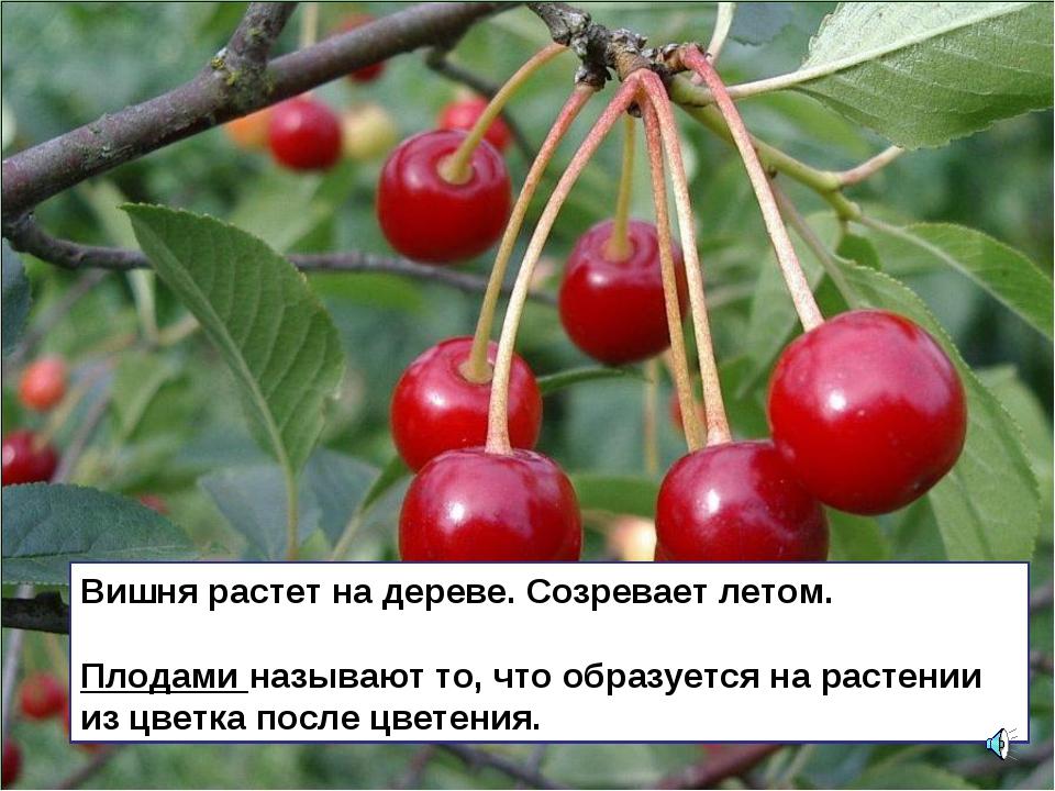 Вишня растет на дереве. Созревает летом. Плодами называют то, что образуется...