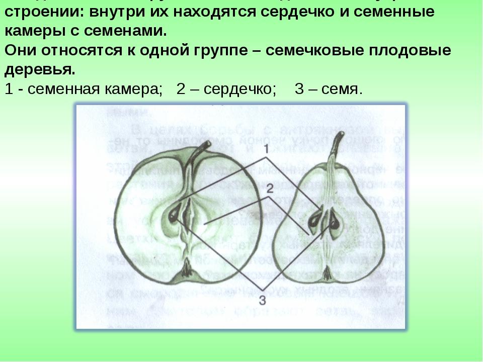 Плоды яблони и груши имеют сходство во внутреннем строении: внутри их находят...